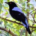 image asian-fairy-bluebird-dendang-gajah-irena-puella-male-1-klbp-jpg