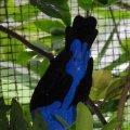 image asian-fairy-bluebird-dendang-gajah-irena-puella-male-2-klbp-jpg