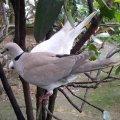 image barbary-dove-ringneck-dove-ring-dove-streptopelia-risoria-2-klbp-jpg