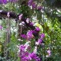 image 07-purple-dendrobium-and-phalaenopsis-orchids-jurong-bird-park-sg-2011-jpg