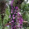 image 08-purple-dendrobium-and-phalaenopsis-orchids-jurong-bird-park-sg-2011-jpg