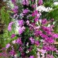 image 09-purple-dendrobium-and-phalaenopsis-orchids-jurong-bird-park-sg-2011-jpg