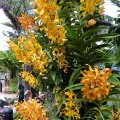 image 11-orange-vanda-orchids-jurong-bird-park-sg-2011-jpg