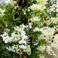 image 12-white-dendrobium-and-phalaenopsis-orchids-jurong-bird-park-sg-2011-jpg