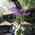 image 13-white-phalaenopsis-and-purple-vanda-orchids-jurong-bird-park-sg-2011-jpg