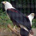 image african-fish-eagle-haliaeetus-vocifer-2010-jpg