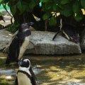 image african-penguin-jackass-penguin-spheniscus-demersus-1-jbp-sg-2011-jpg
