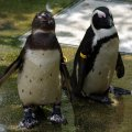 image african-penguin-jackass-penguin-spheniscus-demersus-2-jbp-sg-2011-jpg