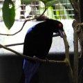 image asian-fairy-bluebird-murai-gajah-irena-puella-male-2-jbp-sg-2011-jpg