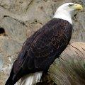 image bald-eagle-halieetus-leucocephalus-2010-jpg