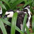 image barnacle-goose-branta-leucopsis-2010-jpg