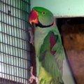 image alexandrine-parakeet-psittacula-eupatria-alexandrian-parrot-male-ballarat-bird-world-vic-jpg