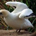 image australasian-gannet-morus-serrator-or-sula-bassana-australian-gannet-takapu-1-melb-zoo-vic-jpg