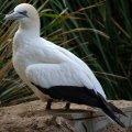 image australasian-gannet-morus-serrator-or-sula-bassana-australian-gannet-takapu-2-melb-zoo-vic-jpg