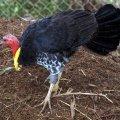 image australian-brush-turkey-alectura-lathami-scrub-turkey-bush-turkey-1-kyabram-fauna-park-vic-jpg