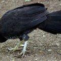 image australian-brush-turkey-alectura-lathami-scrub-turkey-bush-turkey-2-kyabram-fauna-park-vic-jpg