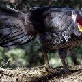 image australian-brush-turkey-alectura-lathami-scrub-turkey-bush-turkey-3-kfp-vic-jpg