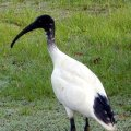image australian-ibis-threskiornis-molucca-gold-coast-qld-jpg