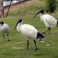 image australian-ibis-2-bribie-is-qld-jpg