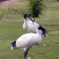 image australian-ibis-3-bribie-is-qld-jpg