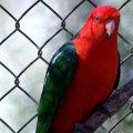 image australian-king-parrot-alisterus-scapularis-male-3-kfp-vic-jpg