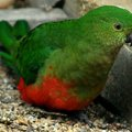 image australian-king-parrot-alisterus-scapularis-3-female-ballarat-bird-world-vic-jpg