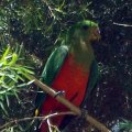 image australian-king-parrot-or-southern-king-parrot-or-king-lory-alisterus-scapularis-female-1-wellington-nsw-jpg