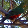 image australian-king-parrot-or-southern-king-parrot-or-king-lory-alisterus-scapularis-female-2-wellington-nsw-jpg