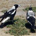 image australian-magpies-jpg