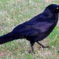 image australian-raven-corvus-coronoides-jpg