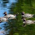 image australian-wood-duck-chenonetta-jubata-family-dubbo-nsw-jpg