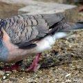 image bar-shouldered-dove-geopelia-humeralis-1-kyabram-fauna-park-vic-jpg