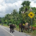 image 003-cattle-crossing-jpg