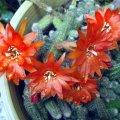 image echinopsis-chamaecereus-sylvestri-peanut-cactus-jpg