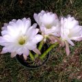 image echinopsis-multiplex-jpg