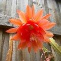 image epiphyllum-orange-jpg