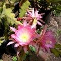 image epiphyllum-pink-blooms-jpg