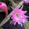 image epiphyllum-pink-jpg