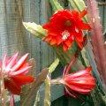 image epiphyllum-red-blooms-jpg