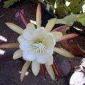 image epiphyllum-white-1-jpg