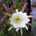 image epiphyllum-white-2-jpg