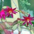 image hatiora-gaertneri-christmas-cactus-deep-pink-1-jpg