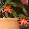 image hatiora-gaertneri-christmas-cactus-orange-jpg