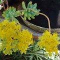 image jelly-bean-plant-sedum-rubrotinctum-2-jpg