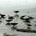 image 068-seagulls-at-play-cannon-beach-jpg