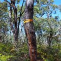 image 32-ironbark-tree-growing-directly-above-the-cave-chamber-jpg