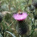 image bee-on-spear-or-black-thistle-cirsium-vulgare-1-jpg