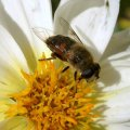 image bee-on-bloom-3-jpg