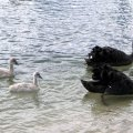 image black-swans-cygnets-1-lakes-entrance-jpg