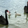 image black-swans-cygnets-2-lakes-entrance-jpg